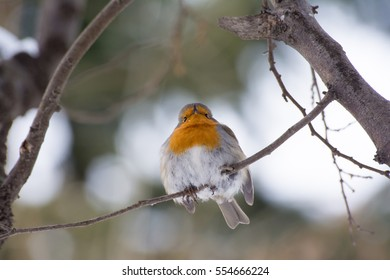 Front view of a European robin