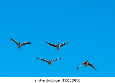 Front view of flying Greylag Geese, Anser anser, by a clear blue sky