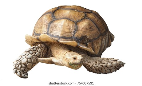 Front view of giant turtle isolated on white background