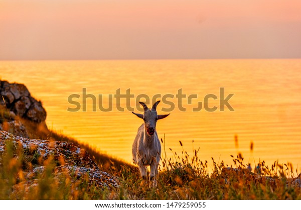 front-view-goat-standing-on-600w-1479259