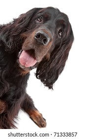 Front view of gordon Setter dog on a white background