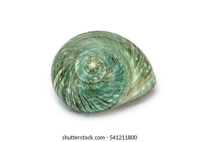 Front view of Green Turban sea shell on white background,  Family: Turbinidae, Species: Turbo marmoratus Linnaeus.