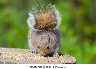 Front view of a Grey Squirrel eating on a woodland feeding table.