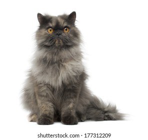 Front view of a grumpy Persian cat sitting, looking at the camera, isolated on white