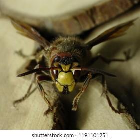 front view hornet macro zoom