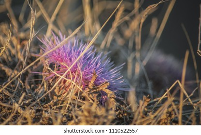 Front view of Isolated dry violet uncultivated wild flower in summer hot day
