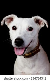 front view of a Jack Russell Terrier sitting