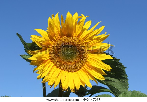 Front view of a large sunflower against a blue summer's sky