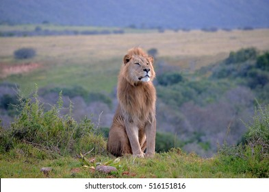 Lion Sitting Front