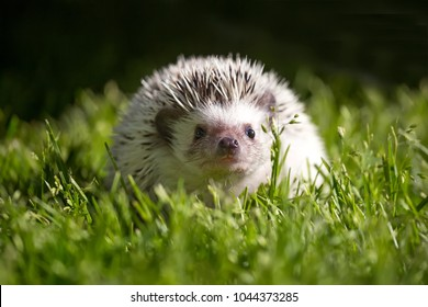 Front view of a little african pigmy hedgehog in the grass.