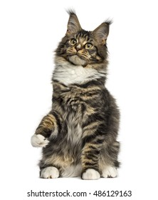 Front view of a Maine Coon cat on hind legs isolated on white