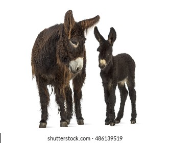 Front view of a mother donkey and her foal, baudet du poitoux isolated on white
