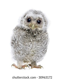 front view of a owlet looking at the camera - Athene noctua (4 weeks old) in front of a white background