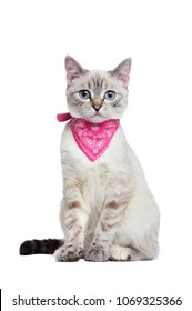 Front view picture of a kitten wearing pink bandana