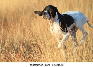 front view of pointer pedigree dog running