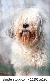 front view portrait of an adult tibetan terrier