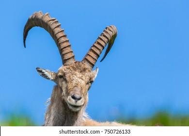 front view portrait natural male alpine capra ibex capricorn blue sky