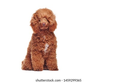 Front view portrait of a sitting poodle before grooming