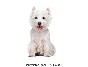 Front view portrait of a sitting west highland terrier