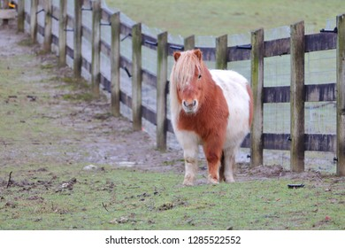 Front view of a pudgy, reddish brown and white Shetland pony standing in a fenced corral.