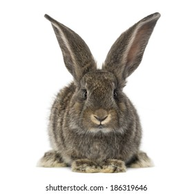front view of a Rabbit, isolated on white