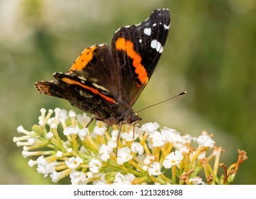 Front view of a Red Admiral butterfly feeding on white flowers of a Butterfly bush