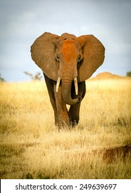 Front view of a red elephant in Tsavo park, Kenya