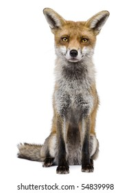 Front view of Red Fox, 1 year old, sitting in front of white background