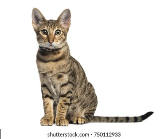 Front view of a Savannah sitting, isolated on white
