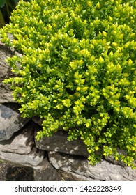 Front view of Sedum Acre perennial plant growing down stone wall.
