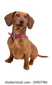 front view of a short haired Dachshund