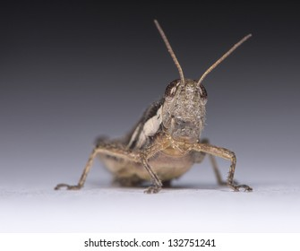 Front view of a small locust over grey