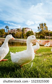 Front view of some white ducks in a park lake at sunset