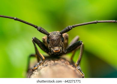 Front view of Spined Oak Borer Longhorn Beetle (Arthropoda: Insecta: Coleoptera: Cerambycidae: Elaphidion mucronatum) crawling on a tree branch isolated with buttery, smooth, green background