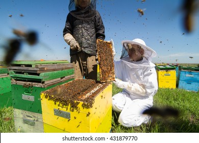 front view of two beekeepers checking the honeycomb of a beehive with bees swarming around them