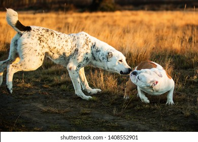 Front view at two charismatic happy dogs walking at autumn field at dask. Central Asian Shepherd Dog and english bulldog. Big dog sniffing small dog. Dogs get to know each other