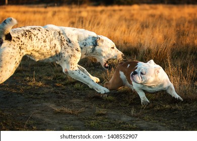 Front view at two charismatic happy dogs walking at autumn field at dask. Central Asian Shepherd Dog and english bulldog. Big dog bites small dog. Animal agression theme