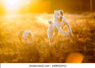Front view at two charismatic happy dogs running at autumn field at dask. Central Asian Shepherd Dog and english bulldog