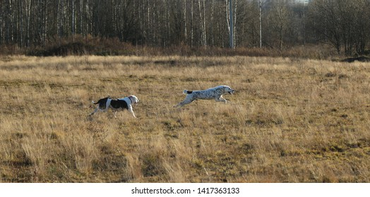 Front view at two charismatic happy dogs running at autumn field. Central Asian Shepherd Dog and american bulldog