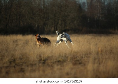 Front view at two charismatic happy dogs running at autumn field at dask. Central Asian Shepherd Dog and mixed breed shepherd dog
