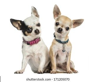 Front view of two Chihuahuas wearing collars, sitting, looking at the camera, 3 years old, isolated on white