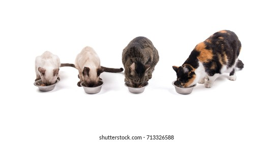 Front view of two kittens and two adult cats eating their dinner, on white