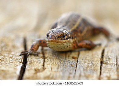 front view of viviparous lizard ( Zootoca vivipara ) standing on a stump