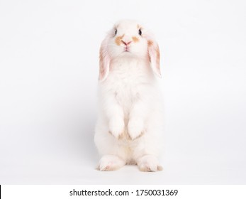 Front view of white cute baby holland lop rabbit standing isolated on white background. Lovely action of young rabbit.