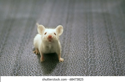 front view of white mouse sitting on a grey background