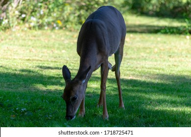Front view of a white-tailed deer standing in a meadow in eastern Pennsylvania, looking for fruit on the ground