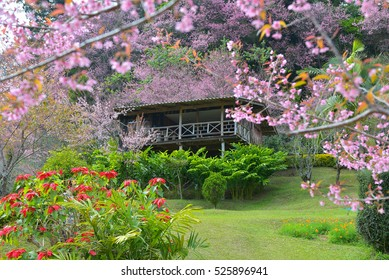 In front of wooden house in the north of Thailand, in full bloom Wild Himalayan Cherry.