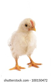 Frontal of a baby chicken