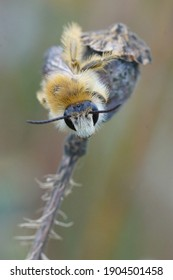 Frontal close up of a male  pantaloon bee or hairy-legged mining bee, Dasypoda hirtipes on bronw background