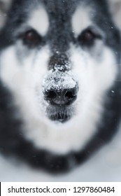 frontal close up portrait of a malamute dog with snow on nose